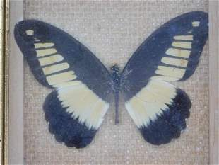 P. CYNORTA FROM AFRICA BUTTERFLY TAXIDERMY MOUNT