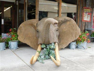 RARE AFRICAN ELEPHANT HEAD MOUNT TAXIDERMY BIG GAME