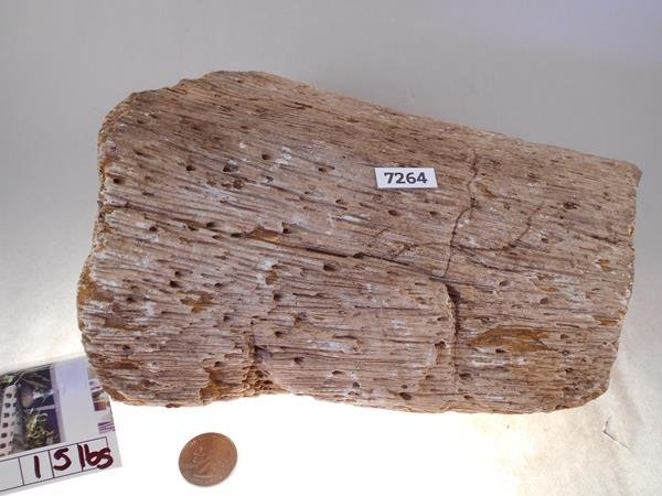 PETRIFIED PALM WOOD ROCK STONE SPECIMEN LAPIDARY