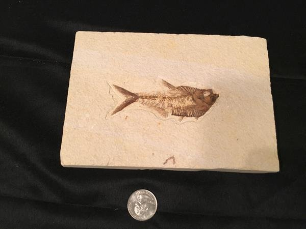 910 Diplomystus dentatus fossil from Green River
