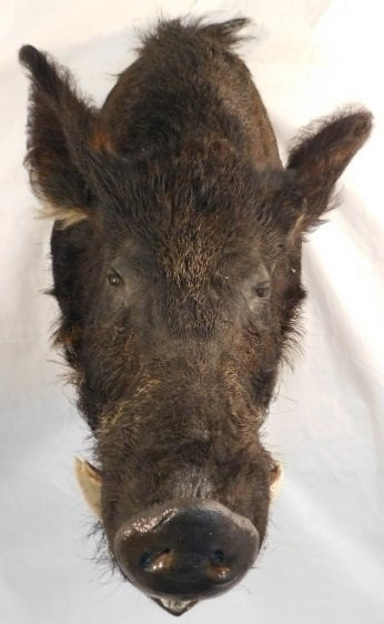 RECORD BOOK RUSSIAN BLACK BOAR MOUNT TAXIDERMY GAME PIG - 2