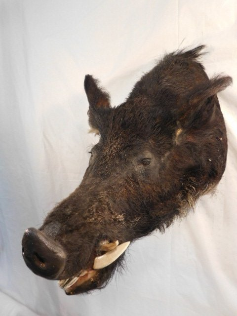 RECORD BOOK RUSSIAN BLACK BOAR MOUNT TAXIDERMY GAME PIG - 3