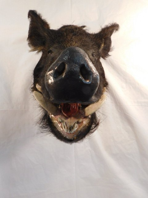 RECORD BOOK RUSSIAN BLACK BOAR MOUNT TAXIDERMY GAME PIG - 5