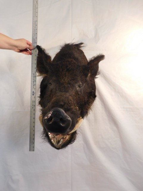 RECORD BOOK RUSSIAN BLACK BOAR MOUNT TAXIDERMY GAME PIG - 6