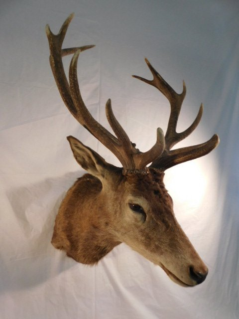 RED STAG DEER TAXIDERMY BIG GAME MOUNT NEW ZEALAND