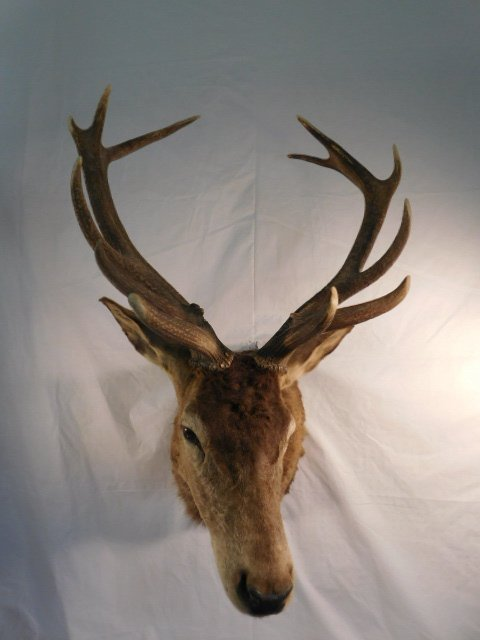 RED STAG DEER TAXIDERMY BIG GAME MOUNT NEW ZEALAND - 2