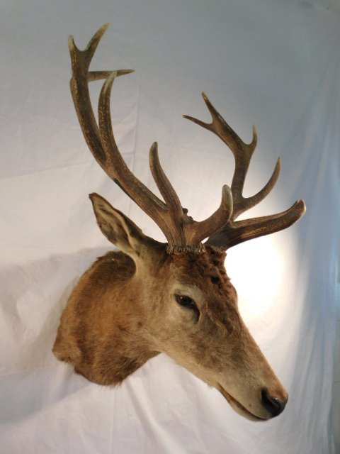 RED STAG DEER TAXIDERMY BIG GAME MOUNT NEW ZEALAND - 3