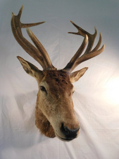 RED STAG DEER TAXIDERMY BIG GAME MOUNT NEW ZEALAND - 4
