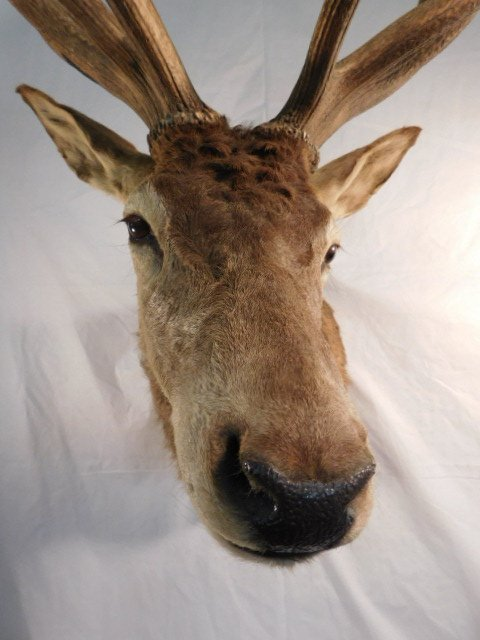 RED STAG DEER TAXIDERMY BIG GAME MOUNT NEW ZEALAND - 5