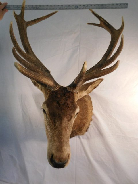 RED STAG DEER TAXIDERMY BIG GAME MOUNT NEW ZEALAND - 8