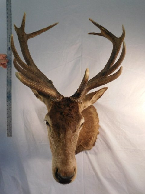RED STAG DEER TAXIDERMY BIG GAME MOUNT NEW ZEALAND - 9