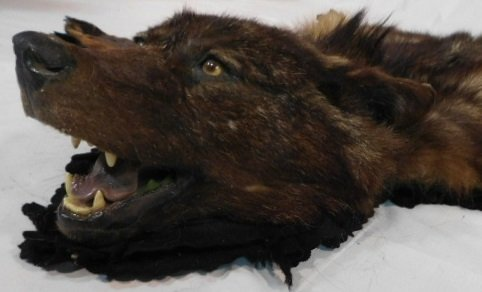BLACK WOLF TAXIDERMY RUG WALL HANGING MOUNT