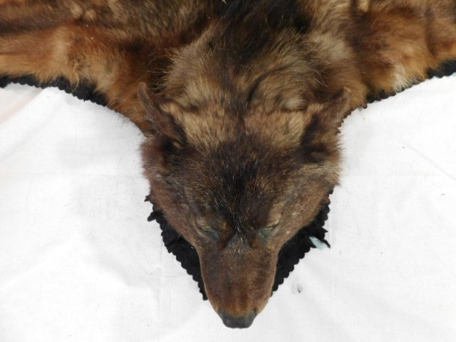 BLACK WOLF TAXIDERMY RUG WALL HANGING MOUNT - 8