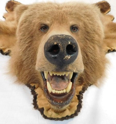 LARGE GRIZZLY BEAR SKIN RUG HUGE, some condition