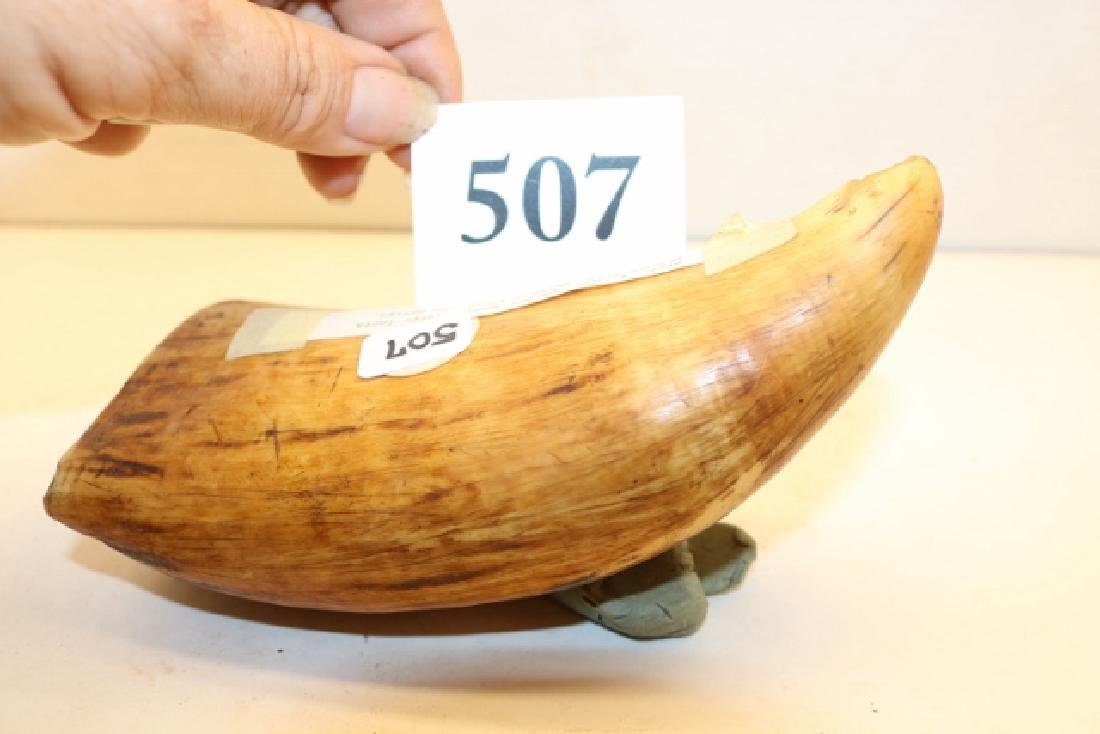 """5 ½"""" Whales Tooth - 4"""