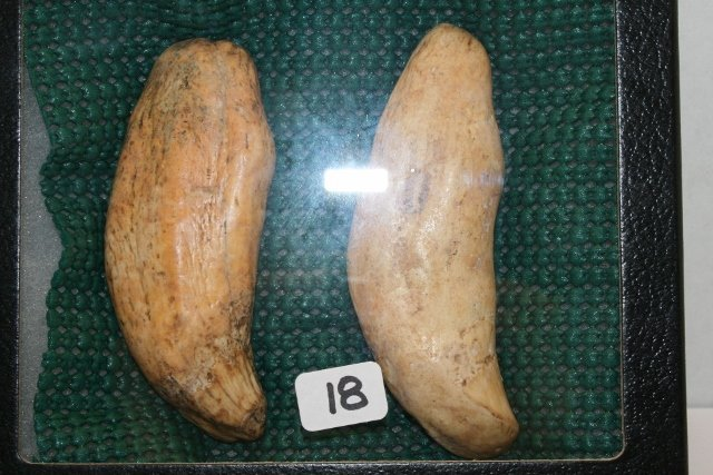 Pair of 2 Cave Bear Teeth