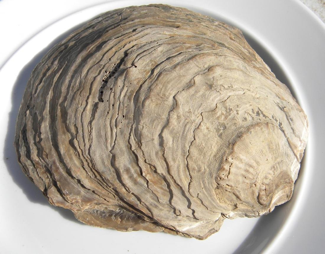 Antique Fossil of a Clam