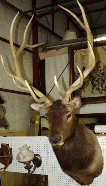 339: Twelve Point Large Elk Mount