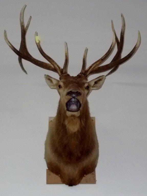 Large 6X6 Elk Head Mount