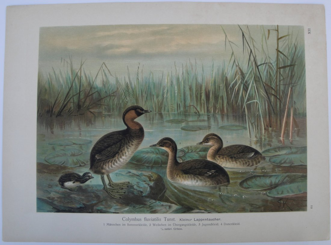 Chromo lithography birds