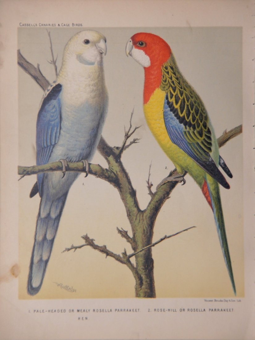 Birds from the Cassell Book of Canaries and Cage Birds