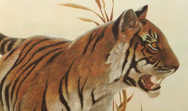 "John A. Ruthven (Ohio) Print ""Bengal Tiger"" - 2"