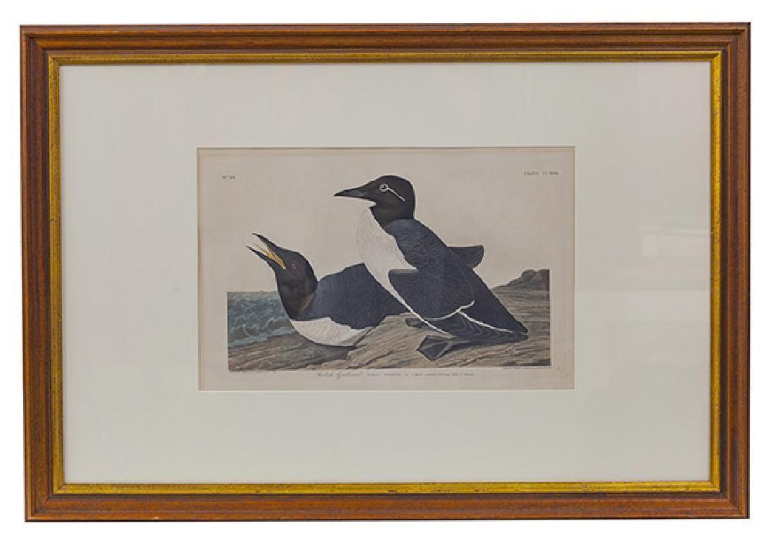 "Audubon Havell Edition ""Foolish Guillemot"" Print"