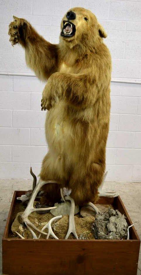 Black Bear with Blonde Fur Large Taxidermy Black Bear