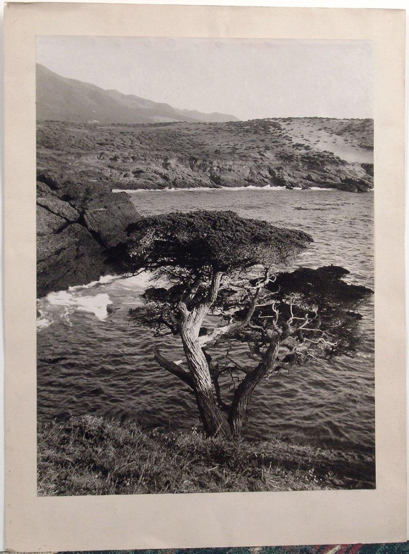 Vintage Original Monterey (Lone?) Cypress Photograph
