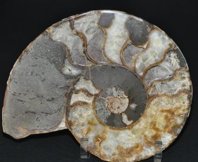A decorative ammonite halves on custom  stands