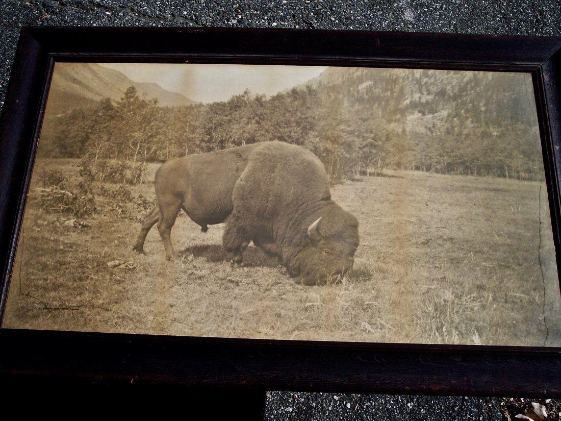 LARGE 1904 LITHO OF A GRAZING WESTERN BUFFALO