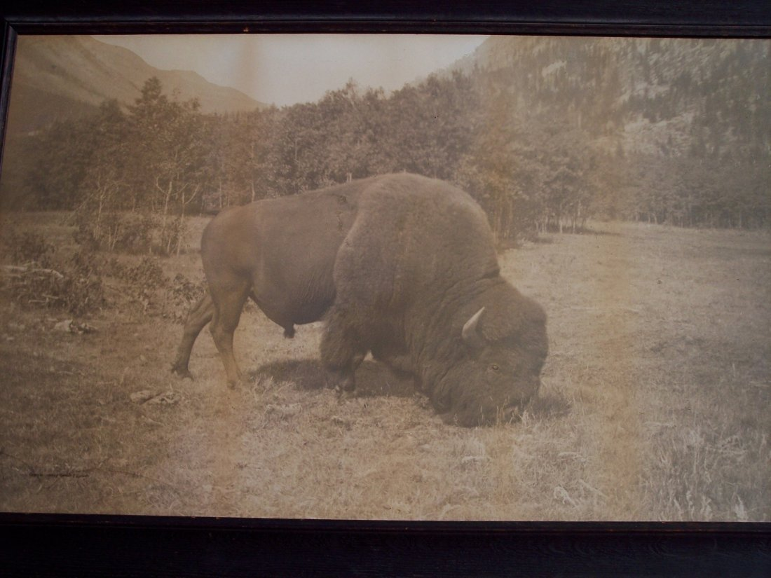 LARGE 1904 LITHO OF A GRAZING WESTERN BUFFALO - 2