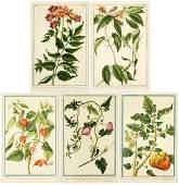 Magdalena Bouchard Italian 18th Century Botanicals