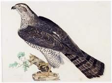 Prideaux John Selby (British, 1788-1867) Goshawk Adult.
