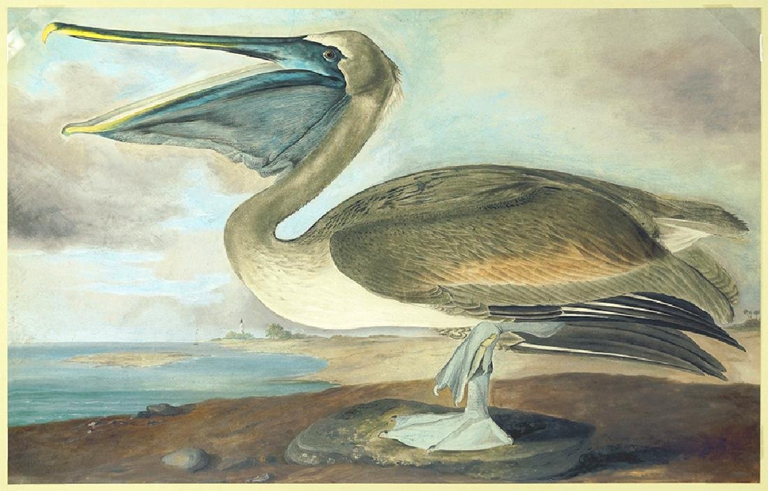 After John James Audubon (American, 1785-1851) Brown