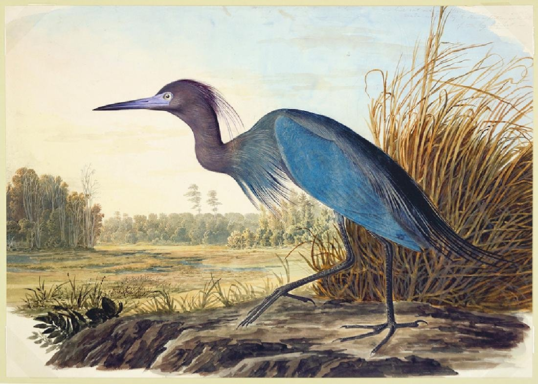 After John James Audubon (American, 1785-1851) Blue
