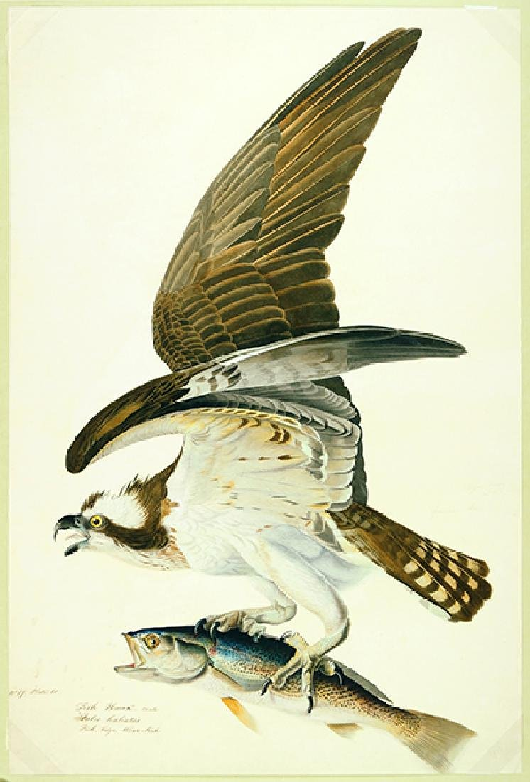 After John James Audubon (American, 1785-1851) Fish