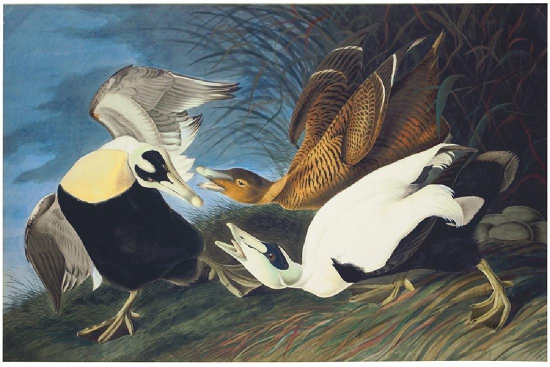 After John James Audubon (American, 1785-1851) Eider