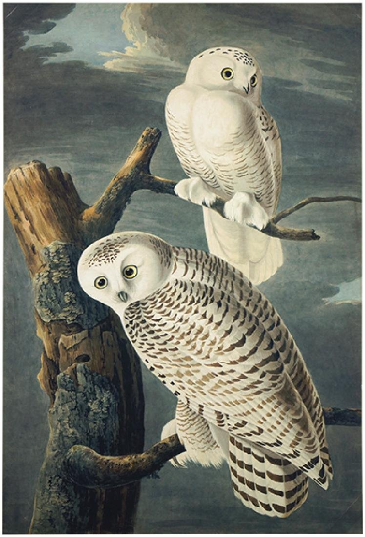 After John James Audubon (American, 1785-1851) Snowy