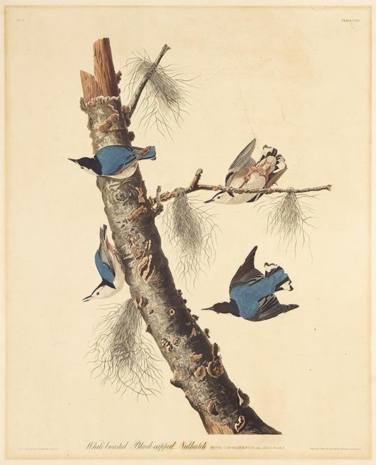 John James Audubon (American, 1785-1851) White-Breasted