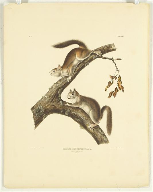 John James Audubon (American, 1785-1851) Downy