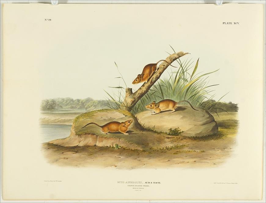 John James Audubon (American, 1785-1851) Orange Colored