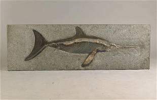 Large fossil Ichtysaurus