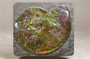 Large Canadian Ammonit