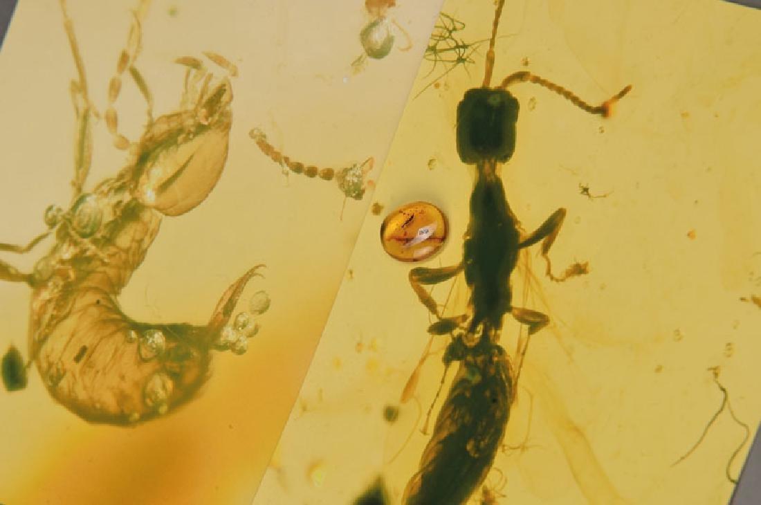wasp Bethylidae