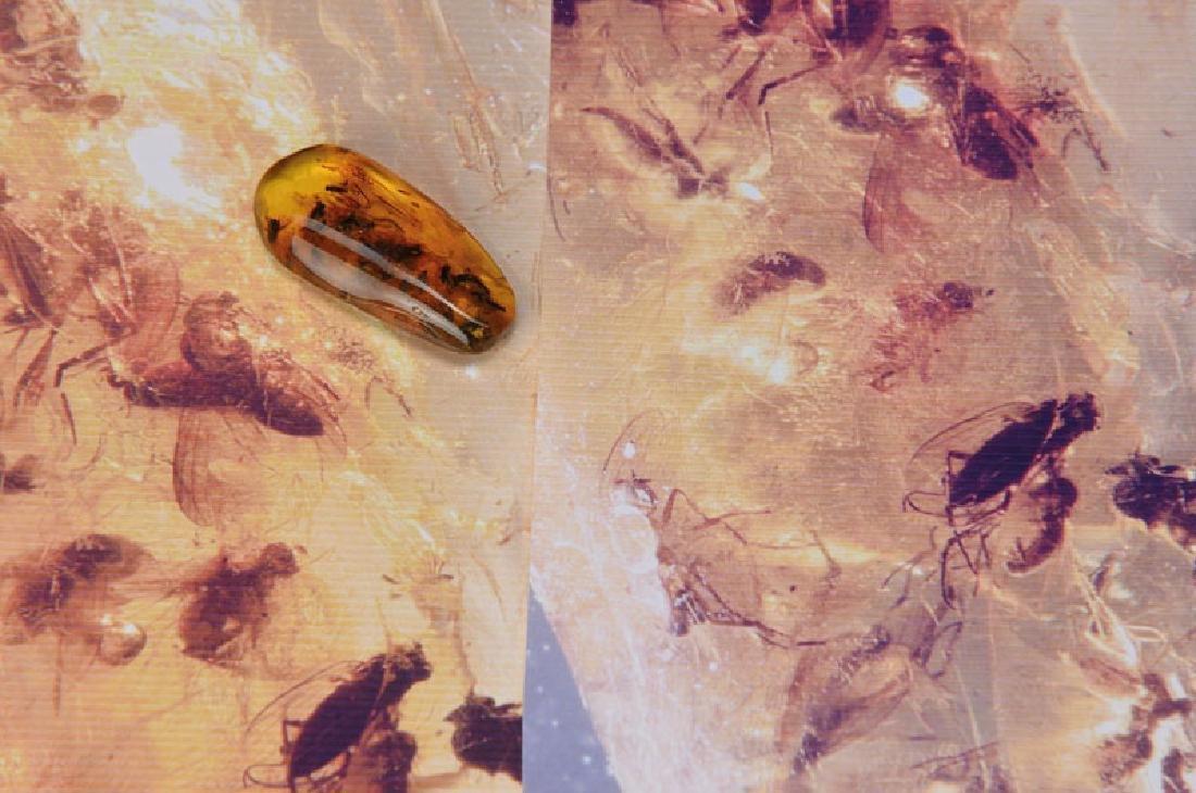 24 Dolichopodidae Dolichopodinae