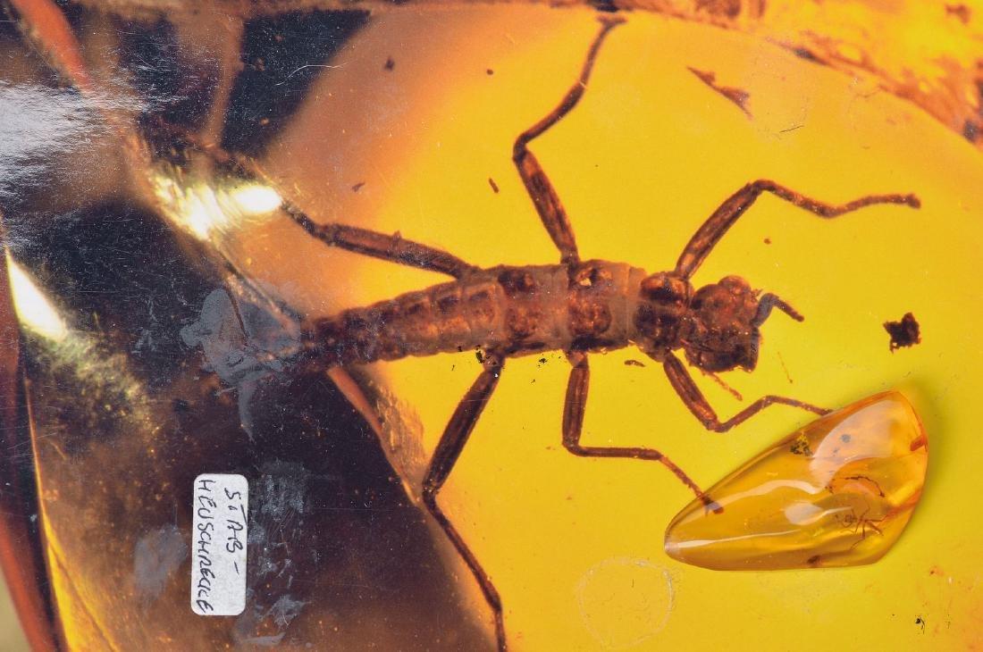 Baltic amber with rare Phasmidae