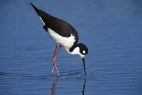 Tom Vezo - Black-necked Stilt Foraging For Food,