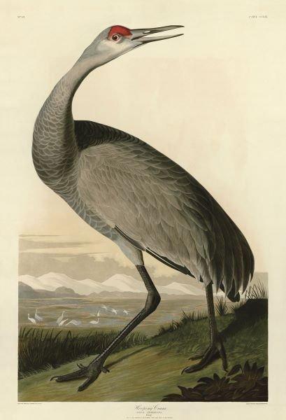 John James Audubon.  Hooping Crane
