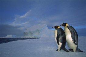 Tui De Roy - Emperor Penguin Pair On Sea Ice In